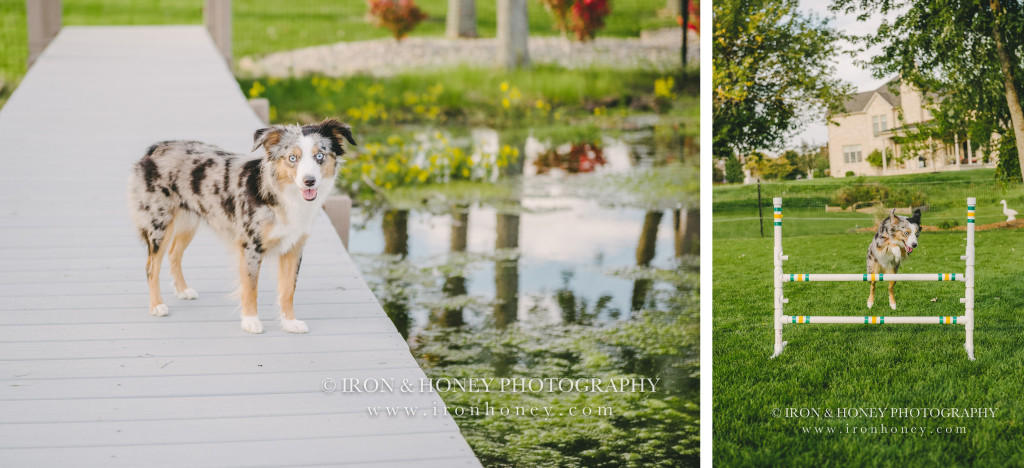 pet photography, Miniature American Shepherds, chicago, northwest indiana,